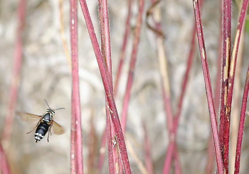 Dolichovespula maculata - Bees, Beetles, Bugs
