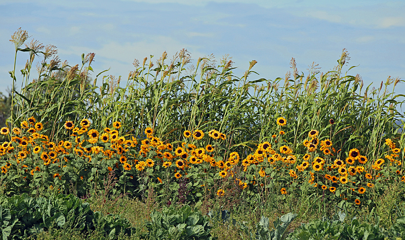 Sunflowers - Flora