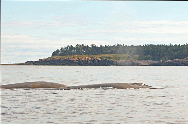 Balaenoptera physalus (cow + Calf) - Bay of Fundy Whales