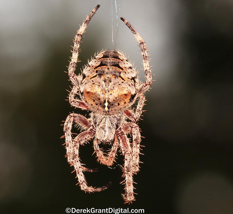 Araneus saevus - Fierce Orbweaver - Spiders of Atlantic Canada
