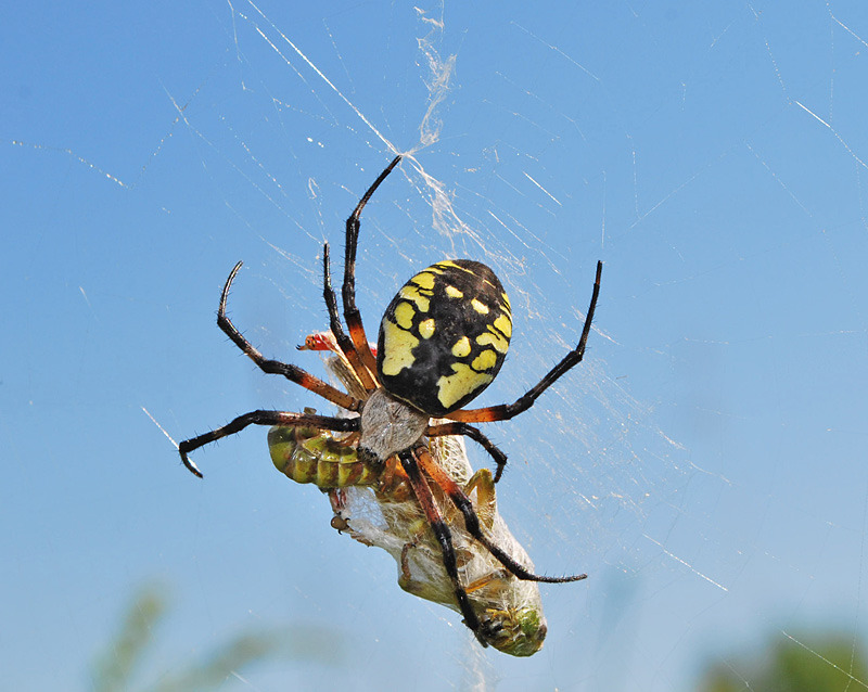 Black and Yellow Garden Spider(female) - 1 - Spiders of Atlantic Canada