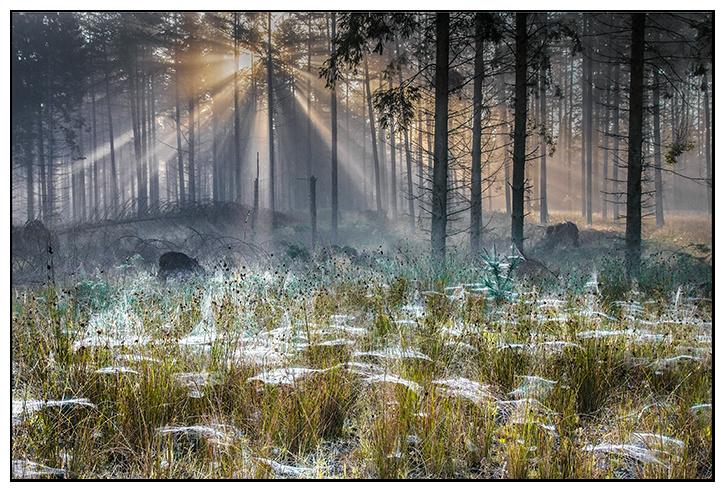 Daybreak in spider woods - Clackmannan & Stirlingshire