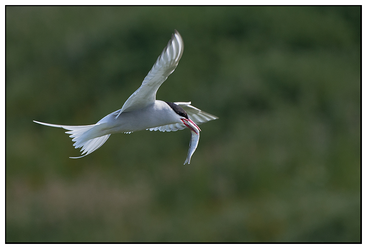 Arctic Tern, Isle Of May. - Fife