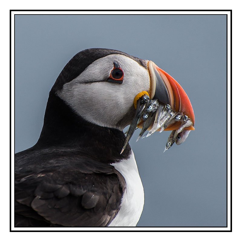 Puffin with Sand eels - Fife