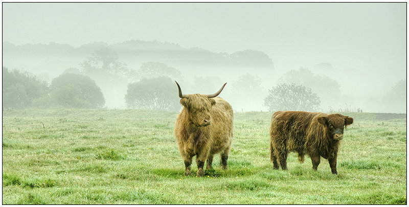 Highland cattle in morning mist - Clackmannan & Stirlingshire