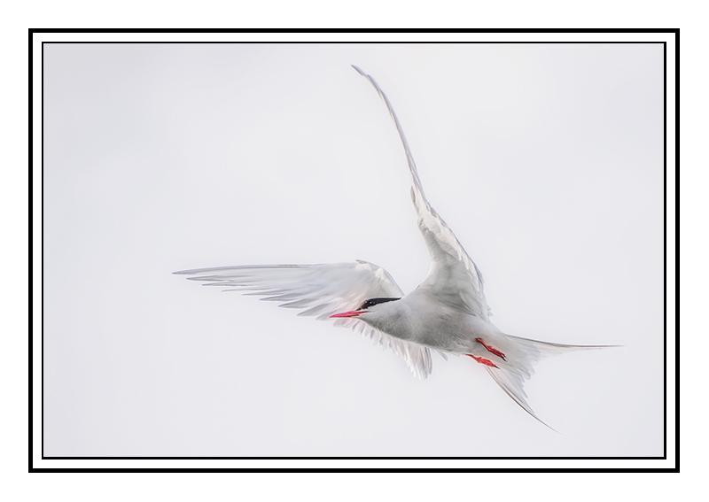 Ethereal Arctic Tern - Fife