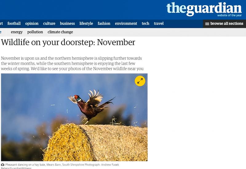 Displaying Pheasant, Guardian Online - Media & Awards