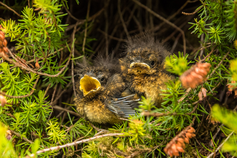 hungry robin chicks in our garden - Wide-angle Wildlife