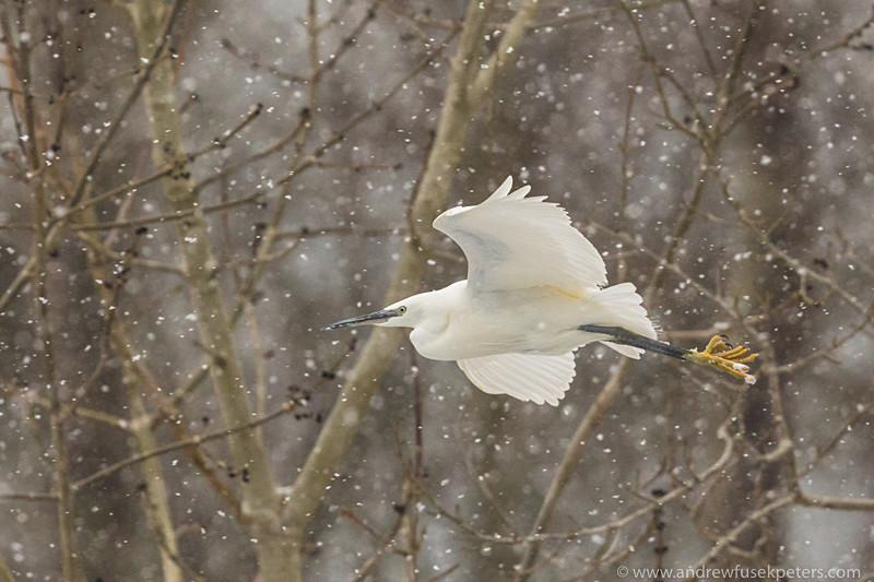 Little egret flying through blizzard - UK Birds