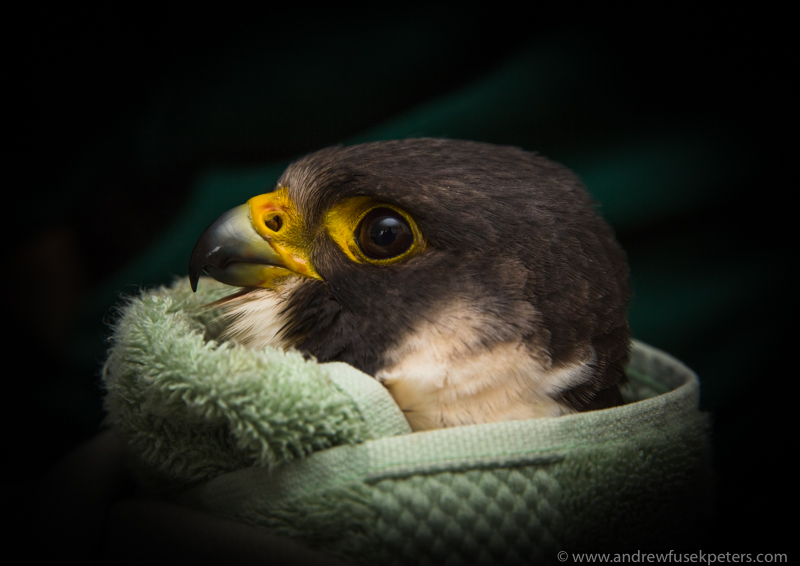 Close-up rescue peregrine portrait - UK Birds of Prey