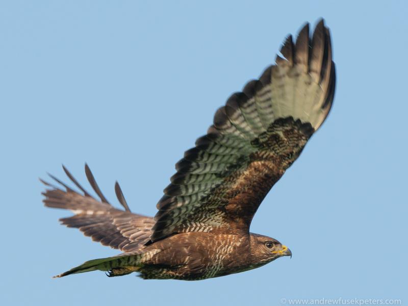 buzzard in the evening light-1 - Olympus Wildlife