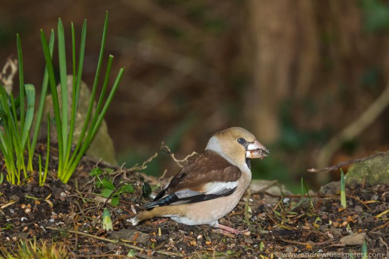 Hawfinch in my neighbour's garden 2 - Garden Birds