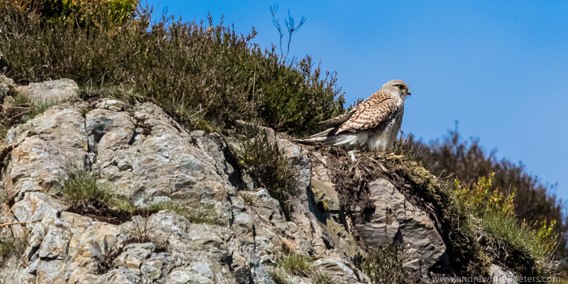 Kestrel Lightspout Hollow, Long Mynd - UK Birds of Prey