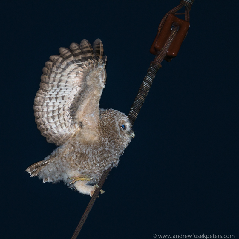 Tawny chick wing flare - UK Owls