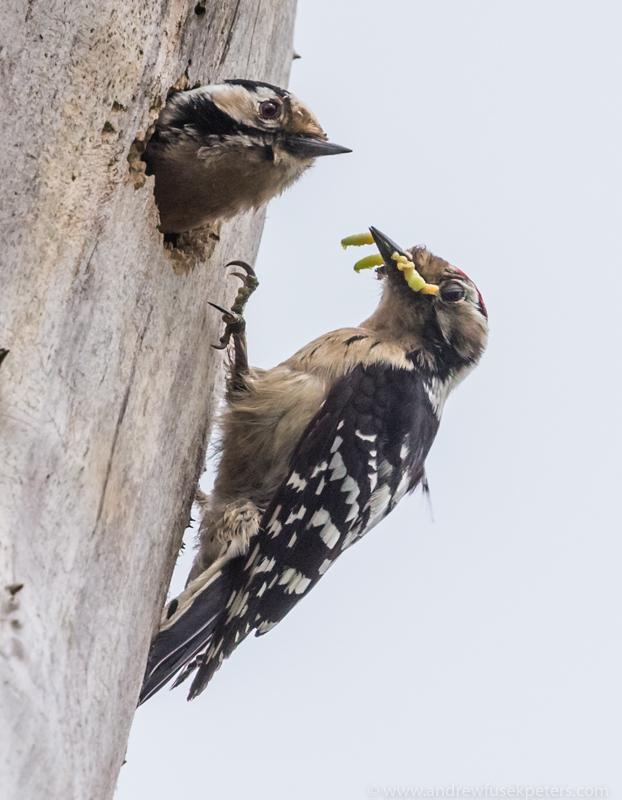 Lesser spotted woodpecker nest 1 - UK Birds