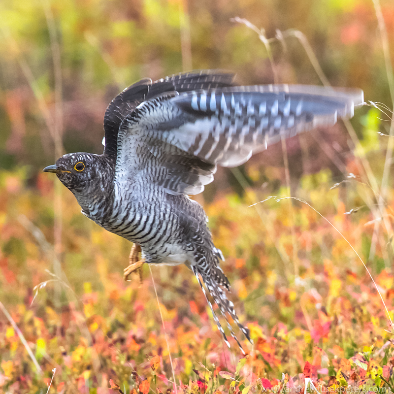 Juvenile cuckoo on Stiperstones - UK Birds