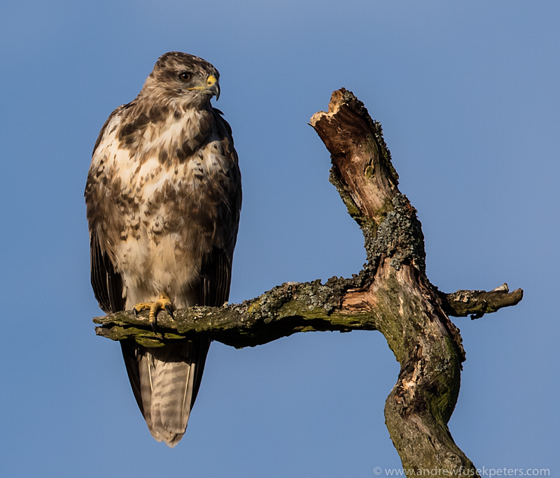 Buzzard portrait long mynd - UK Hawks