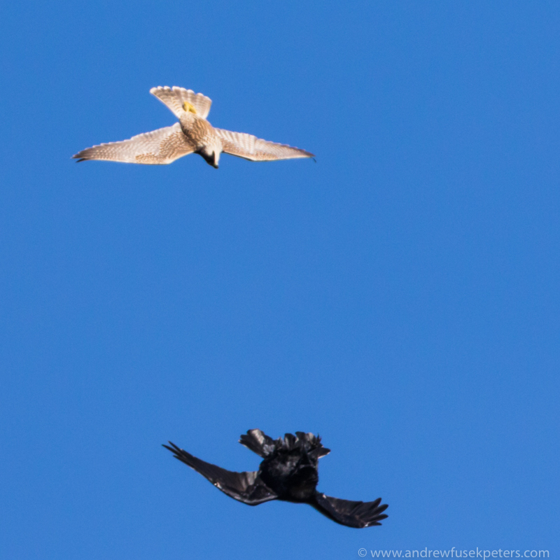 Juvenile peregrine and crow Stiperstones - UK Birds of Prey