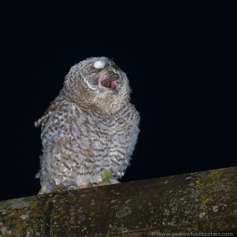 Tawny chick with worm - UK Owls