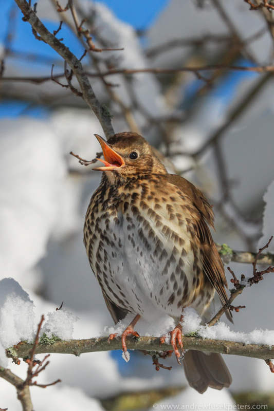 Song thrush singing - The Hill & Vale of Home