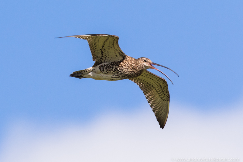 Curlew calling in flight - UK Birds