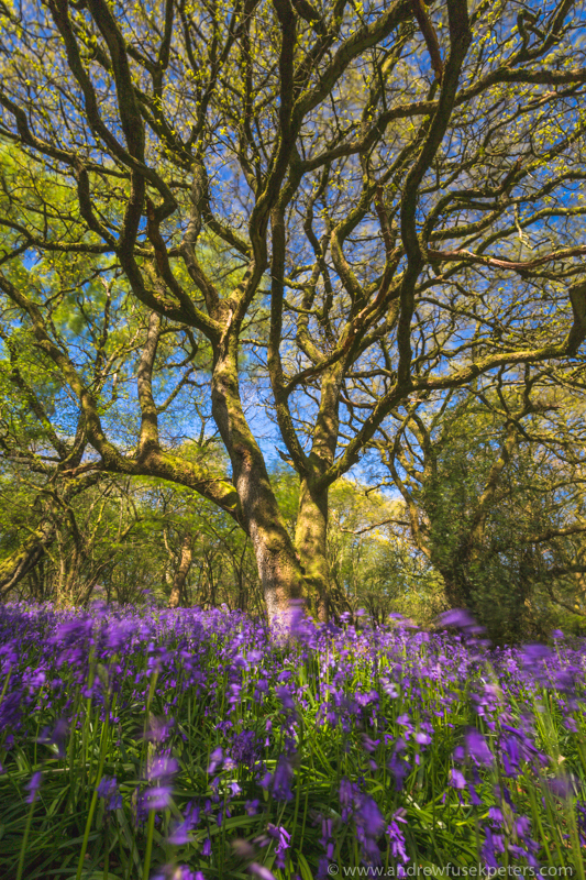 The bluebells in a blue breeze - The Hill & Vale of Home