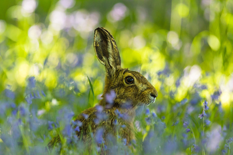 hare in the bluebells - Hares