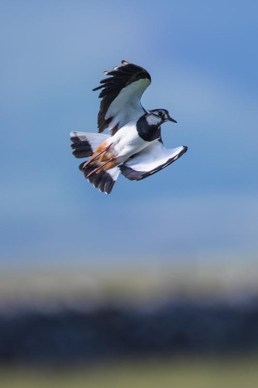 Lapwing in flight - Wilderland, Wildlife & Wonder from the Shropshire Borders