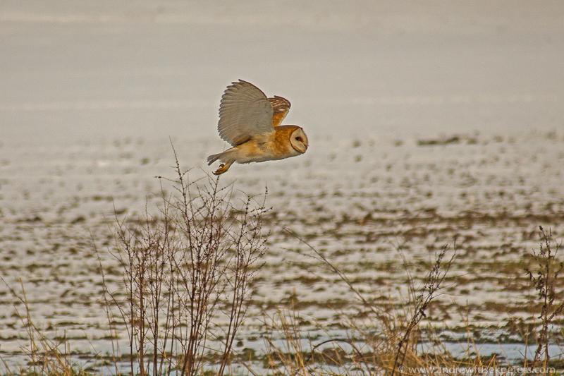 Barn owl against snow 1 - UK Owls