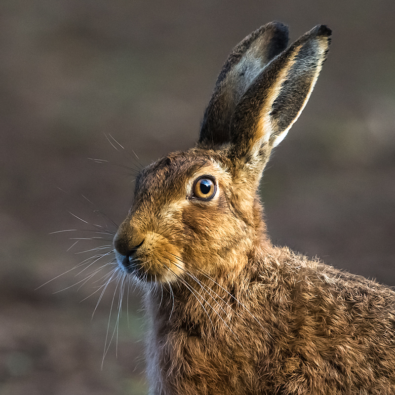 Hare at dawn - Hares