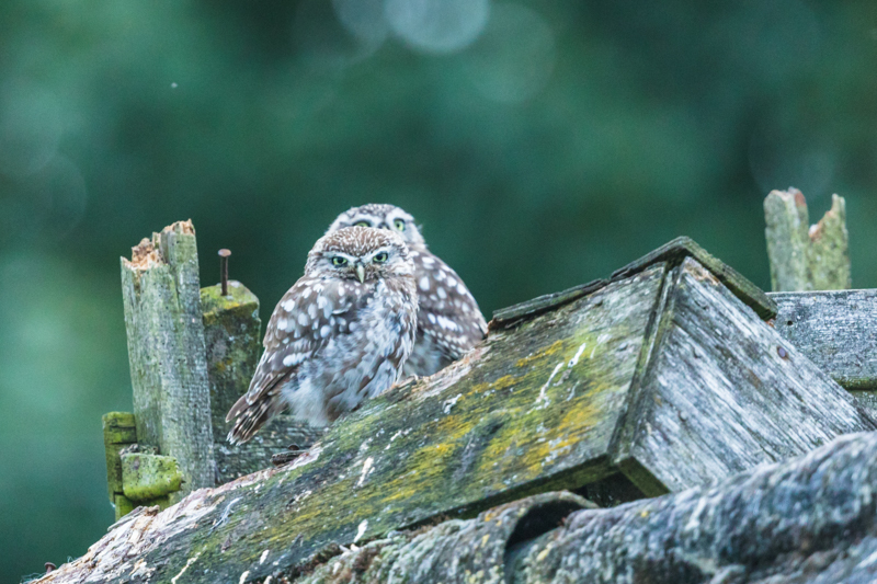 Little owl pair - UK Owls