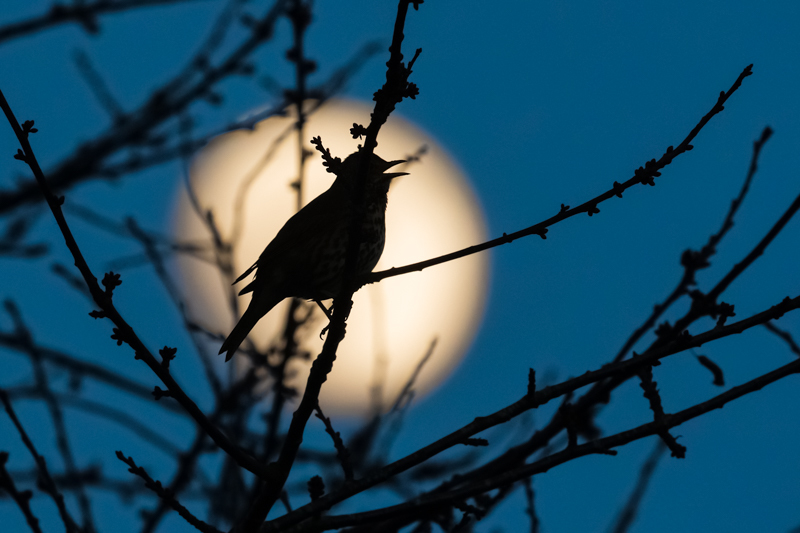 Song thrush singing as the moon rises - Showcase