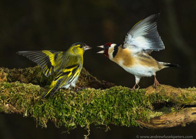 siskin and goldfinch fight - Garden Birds