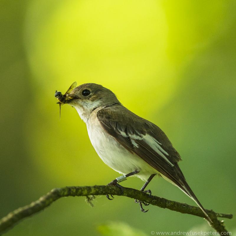 Pied flycatcher with fly, Bridges - UK Birds