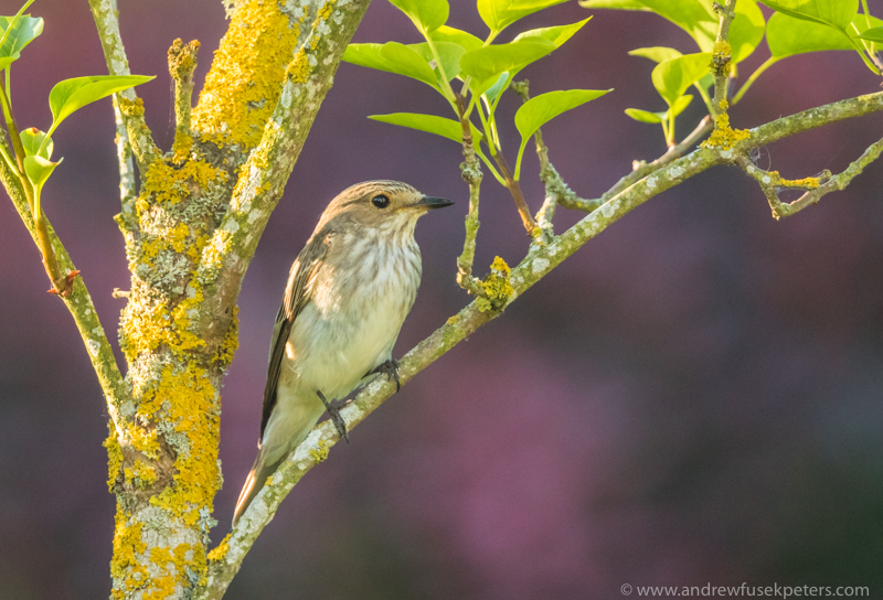 fly catcher in neighbor's garden - Garden Birds