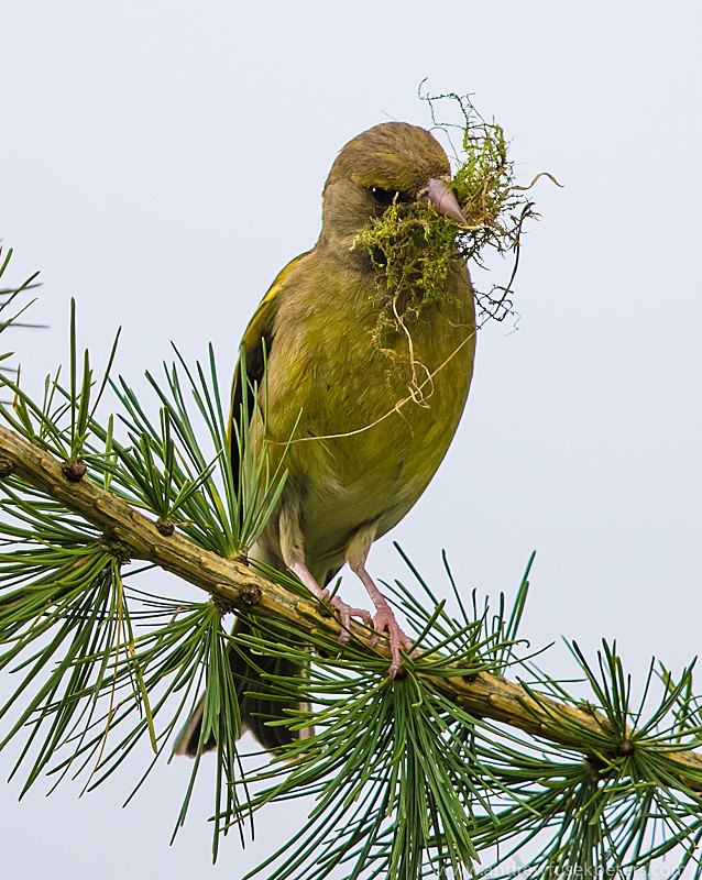 Greenfinch with nesting material - Garden Birds