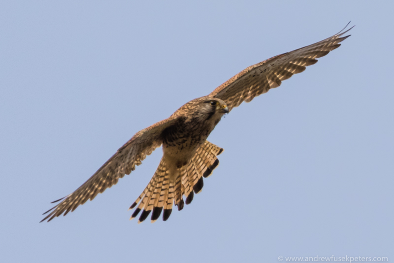 Kestrel on the hunt - UK Birds of Prey