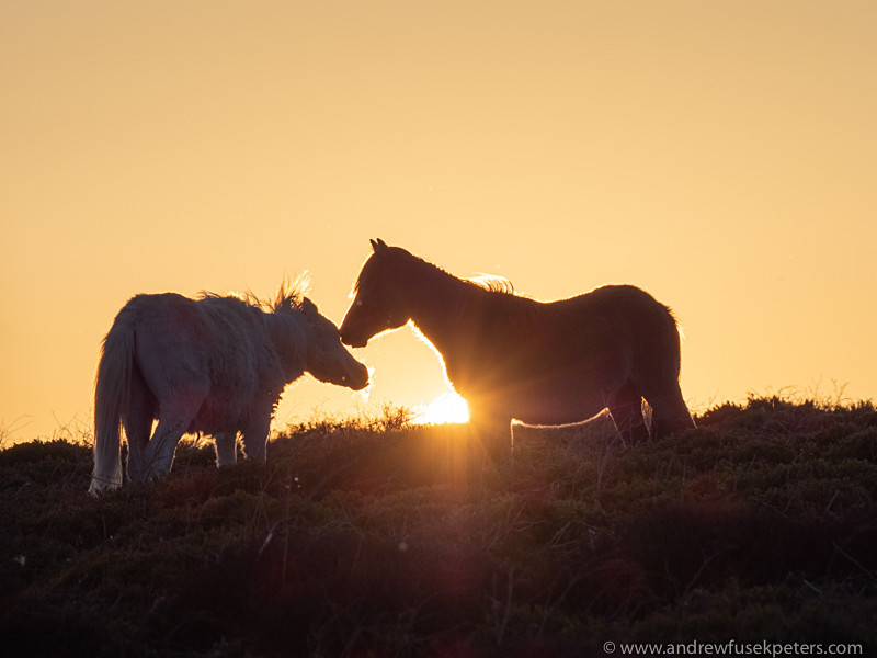wild ponies on the Long Mynd at sunset - Olympus Wildlife