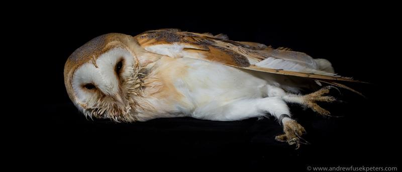rescue barn owl studio portrait - UK Owls