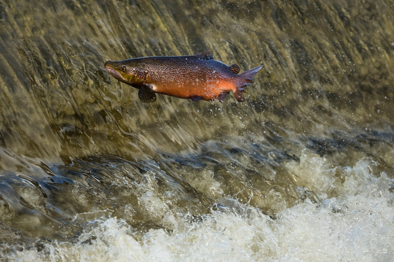 Leaping salmon, South Shropshire - Wilderland, Wildlife & Wonder from the Shropshire Borders