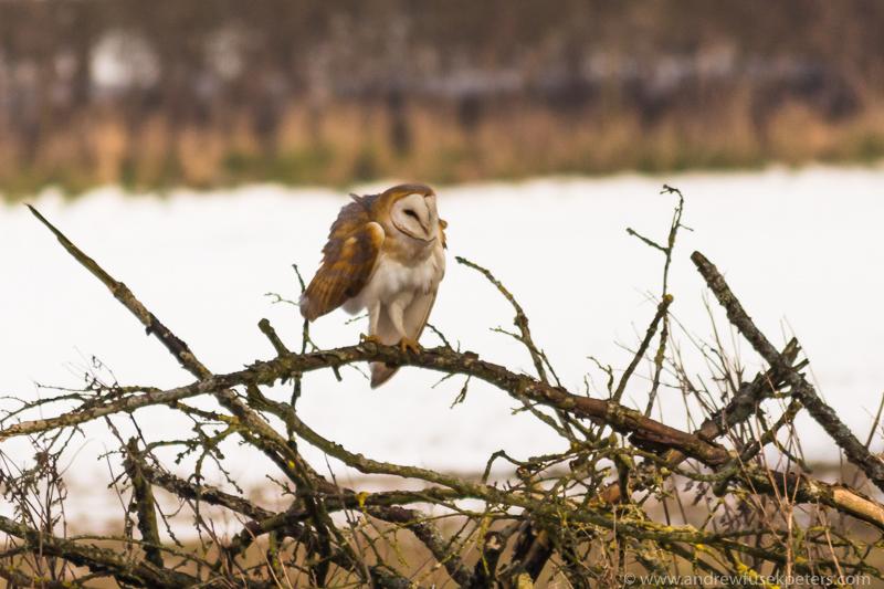 Barn owl wing fluff 4 - UK Owls