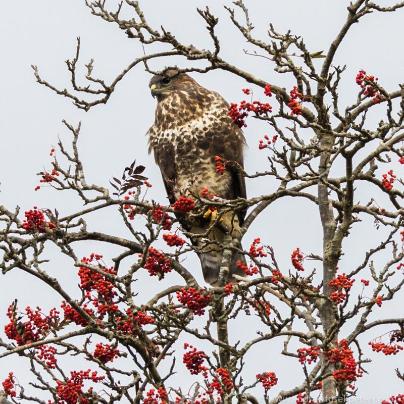 Buzzard in the berries - UK Birds of Prey