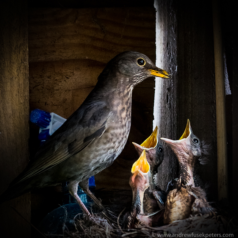 Blackbird and chicks in shed Bishops Castle - UK Birds