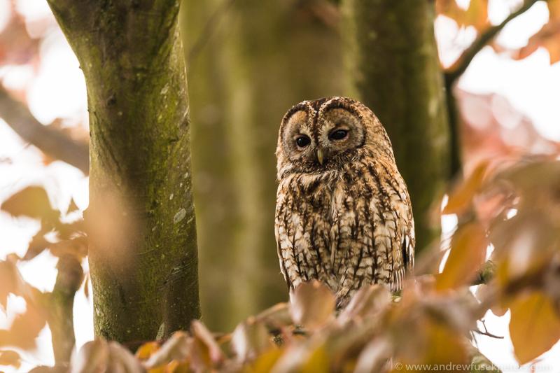 Tawny tree portrait - UK Owls