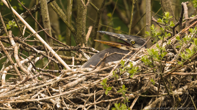 Heron chick at heronry, Shropshire borders 2 - UK Birds