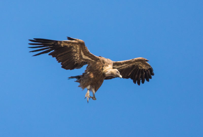 Migrating griffon vultures-1 - Spain and Vulture/Eagle Migration October 2017