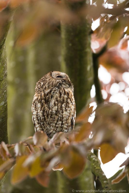 tawny looking up - UK Owls
