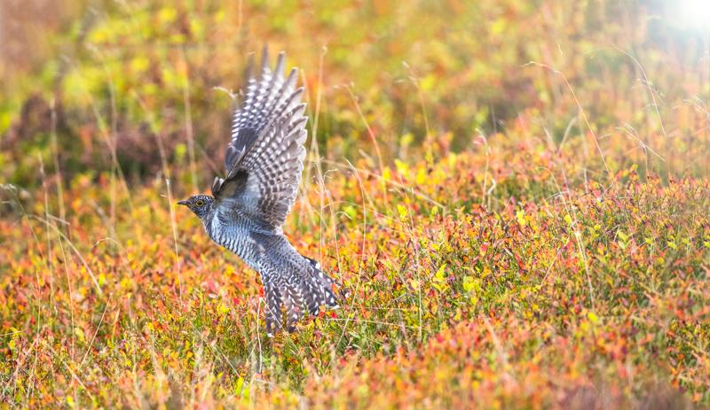 Feeding young cuckoo, Stiperstones - Showcase