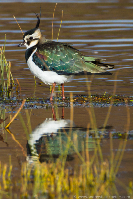 Lapwing reflected Venus Pool 2 - UK Birds