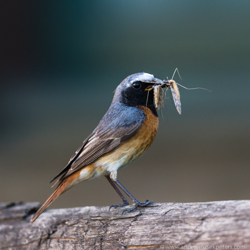 Redstart with insects 2 - UK Birds
